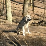 Wolfsforschungszentrum4